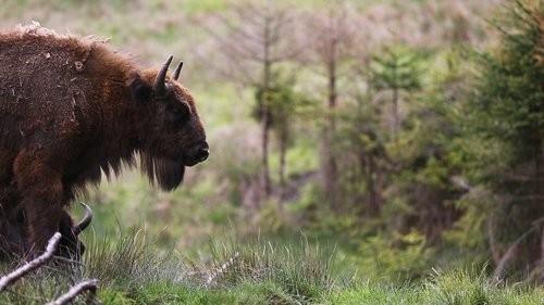 Se le llama bisonte europeo o wisent