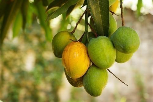 El mango tiene altas cantidades de fibra