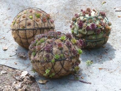 succulent-spheres