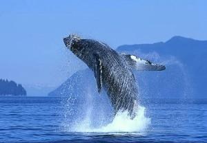 ballena-gris-los-cabos
