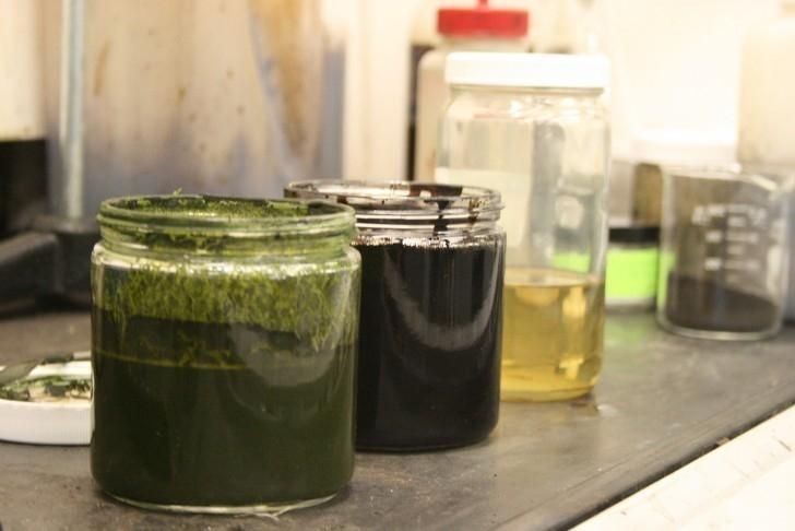 petróleo de algas - petróleo verde