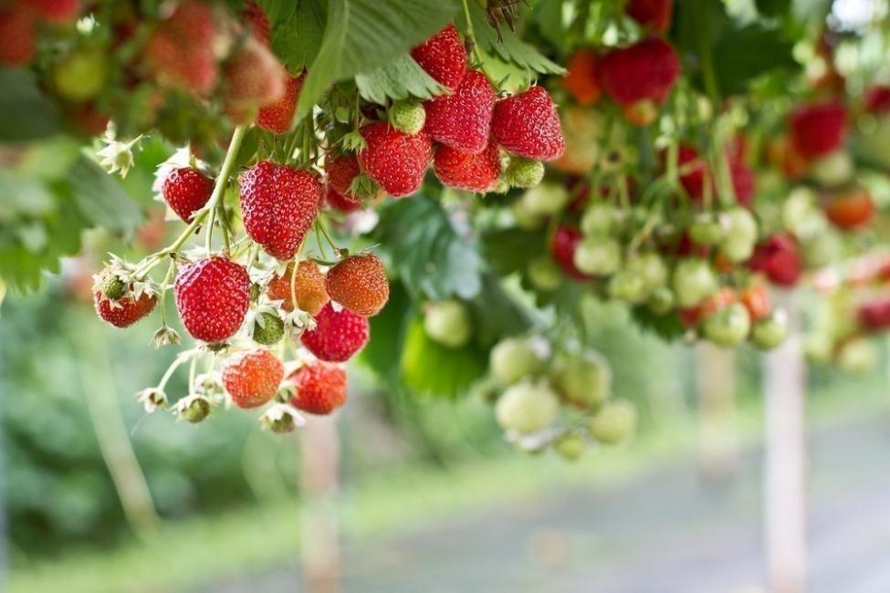 plantar frutillas