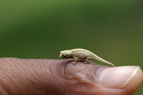 camaleon-brookesia