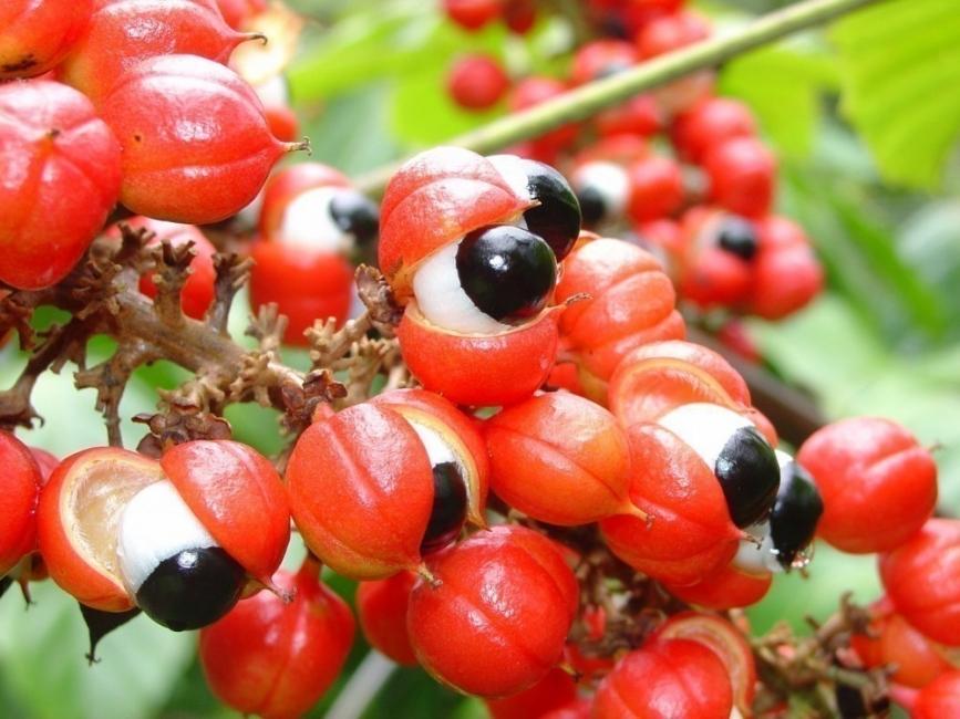 plantas para bajar de peso - guaraná
