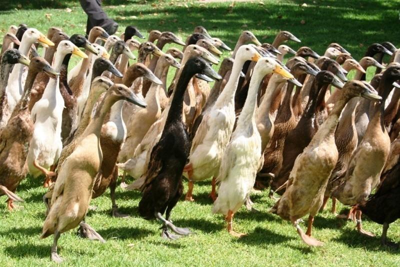 patos que abonan en Vergenoegd Wine State