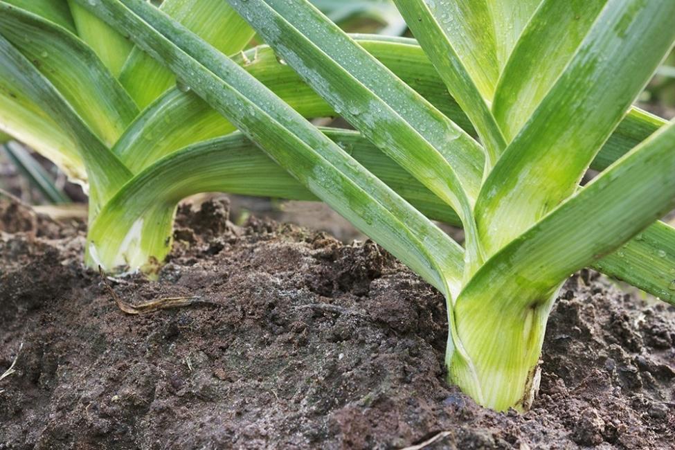 Vegetales y hierbas que puedes tener para siempre - puerro