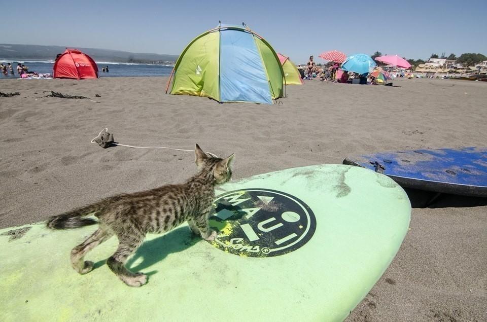 ze pequenho- gato surfer