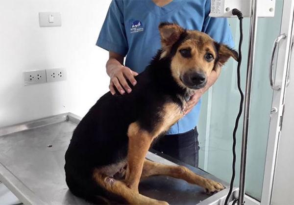 paralyzed-dog-puppy-rescue-thailand-canada-leo-4