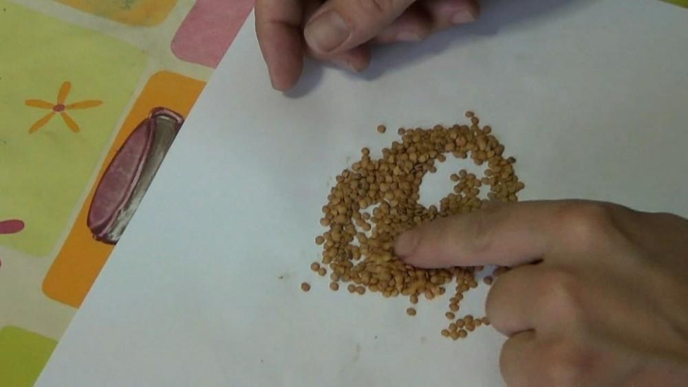 cultivar berenjenas en macetas- semillas de berenjena