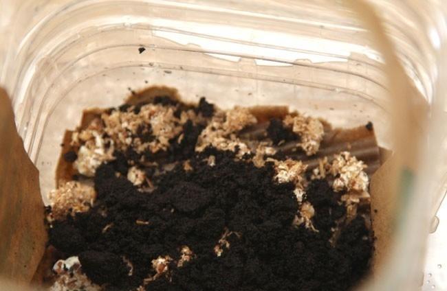 setas cultivadas en café
