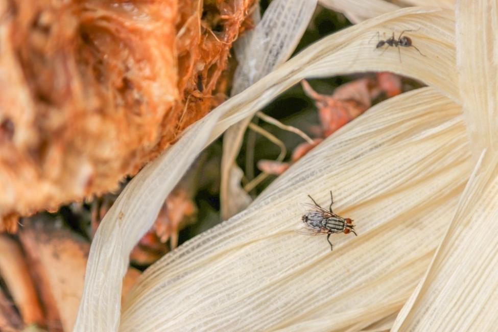 Una mosca puede acarrear hasta 6 millones de gérmenes