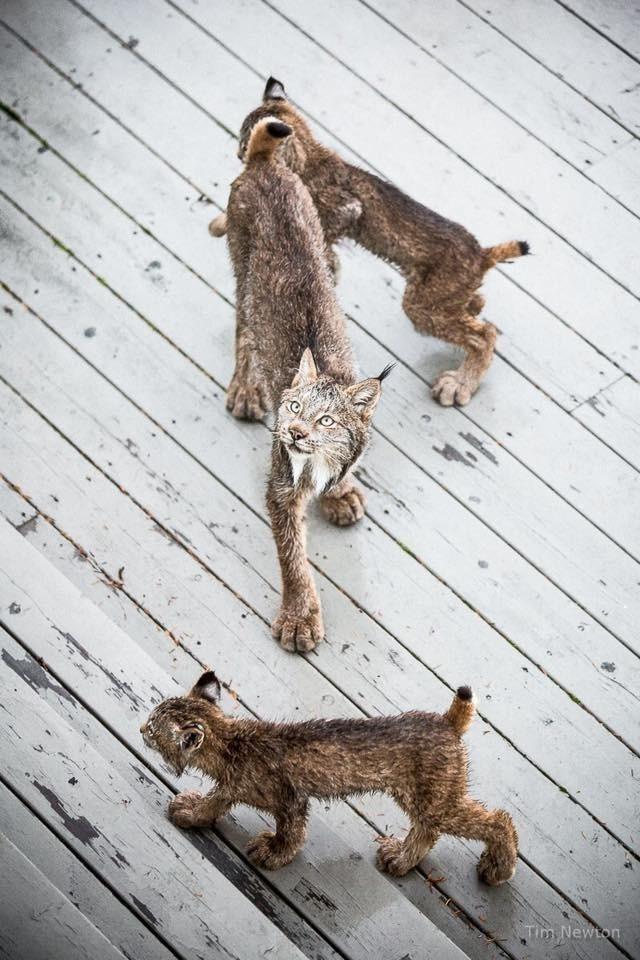 Linces entran a casa de fotografo en Alaska