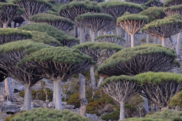 dragon_blood_tree_socotra
