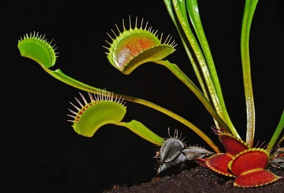 plantas carnívoras- dionea- fotografías