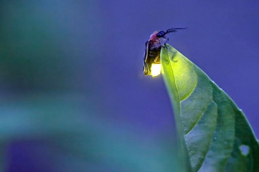 Consejos para atraer luciérnagas - grande