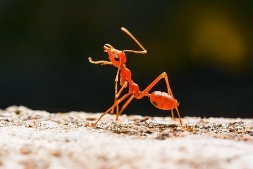 Las hormigas pertenecen a la familia de insectos eusociales