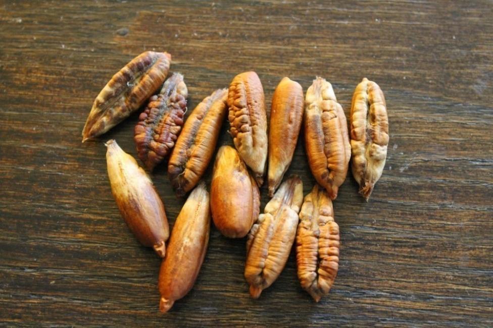 germinar semillas de palmera para tener en el hogar- palmeras datileras