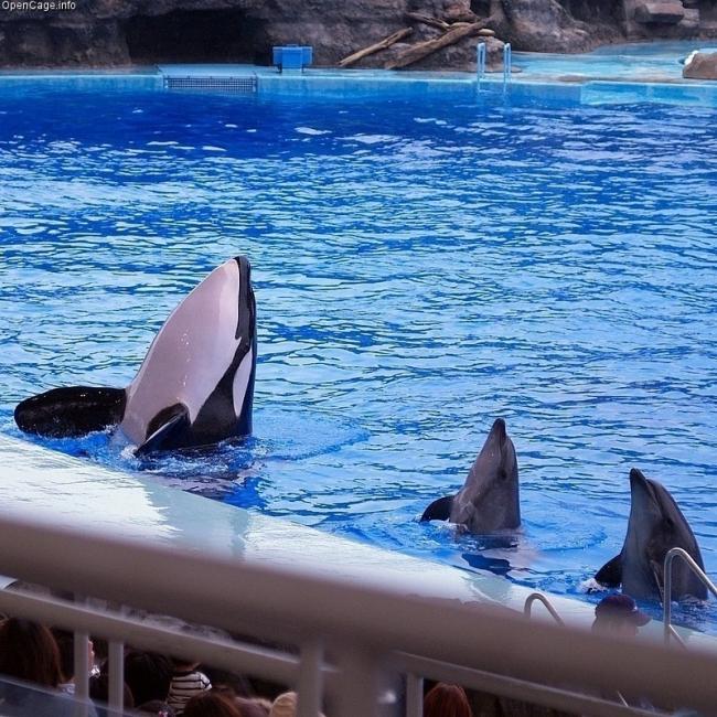 Las orcas en cautiverio tienen dientes fracturados o faltantes