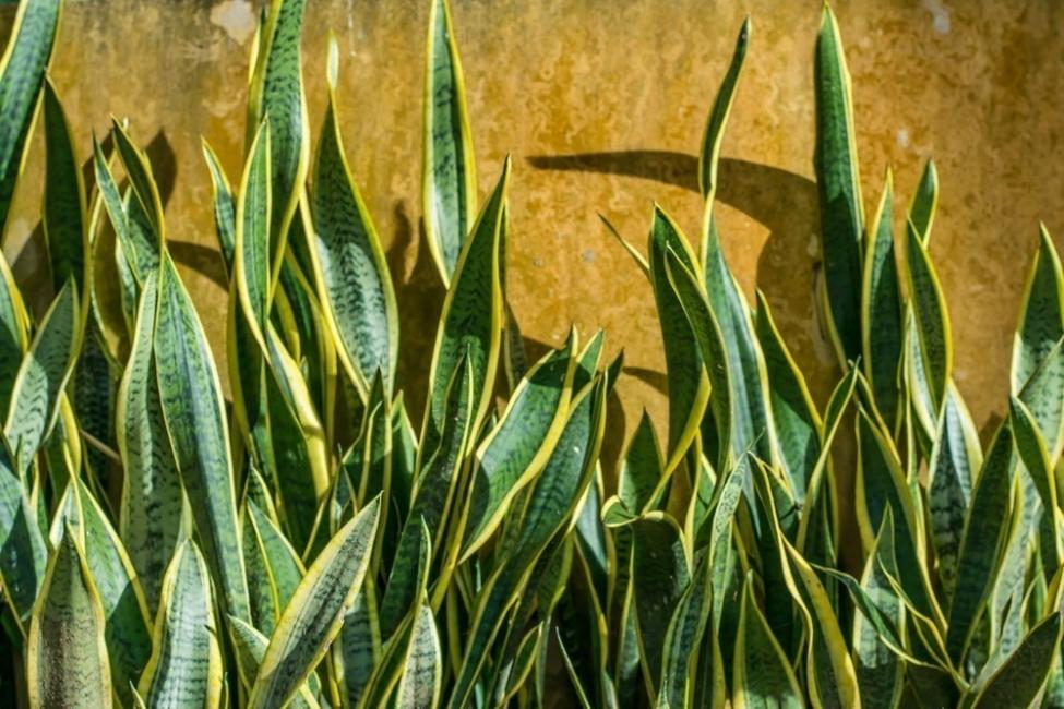 plantas de dormitorio - planta serpiente