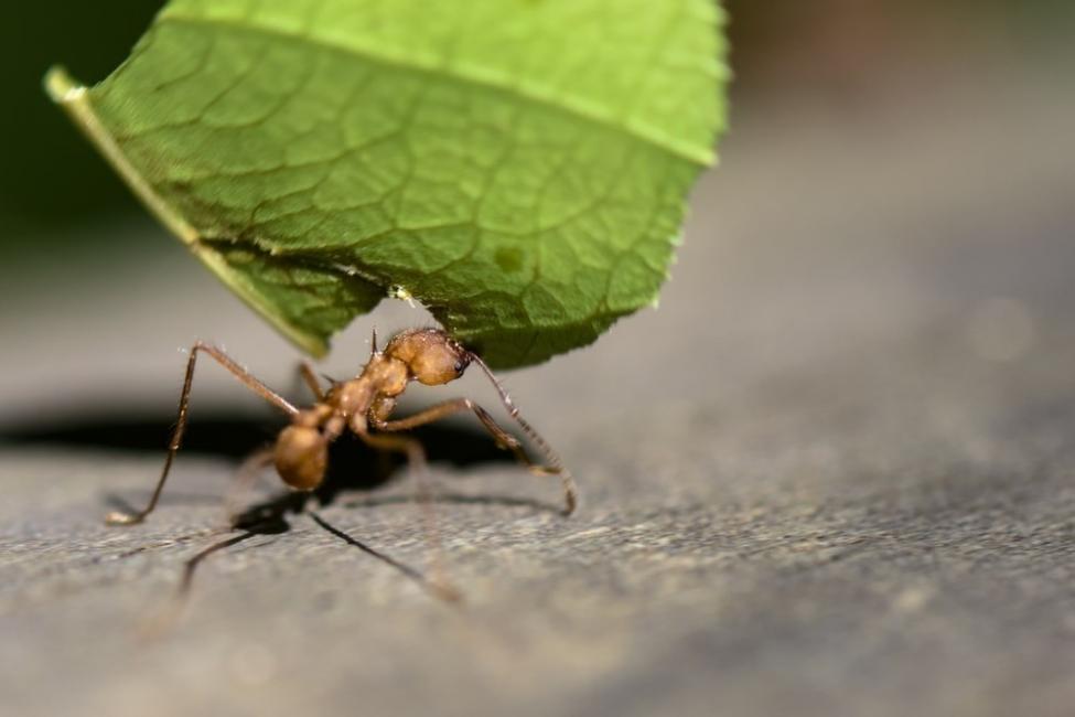 hormigas hojas