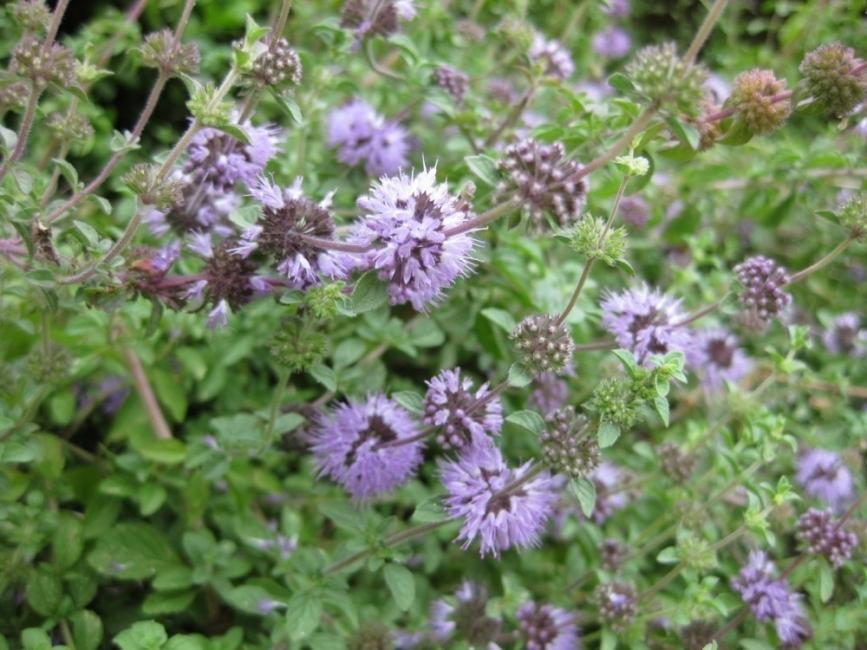5 plantas shamánicas que sanan tu cuerpo- libro hierbas y plantas curativas de Fernández Chiti- poleo