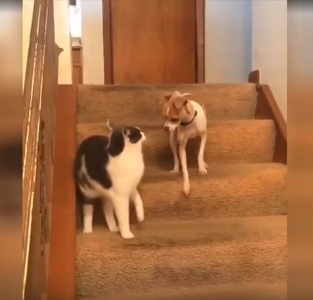 El perro intenta agredir al gato en la escalera