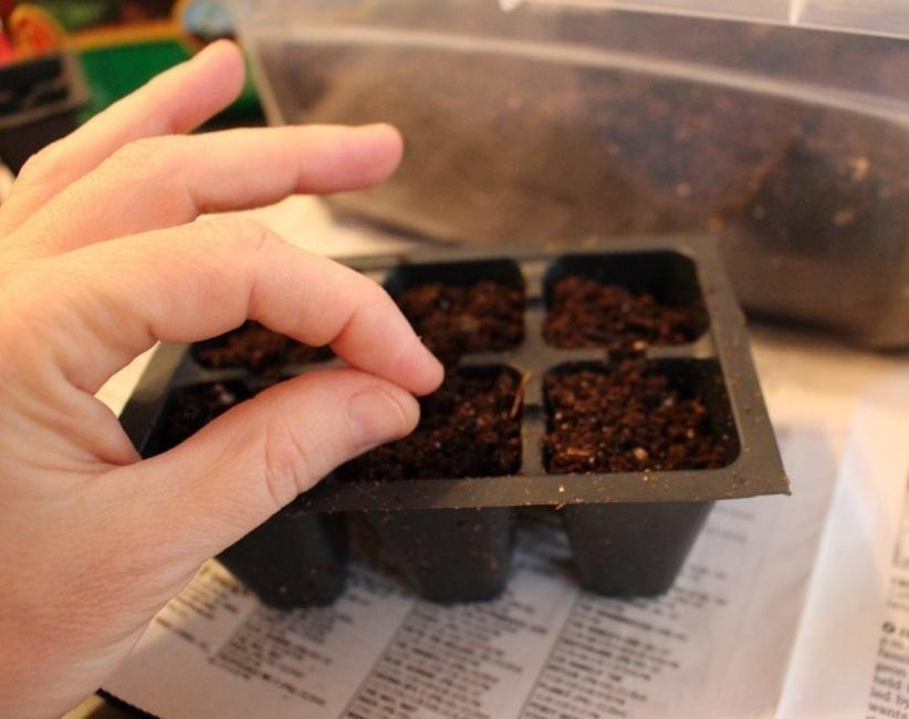 germinar semillas de palmera para tener en el hogar- sembrar