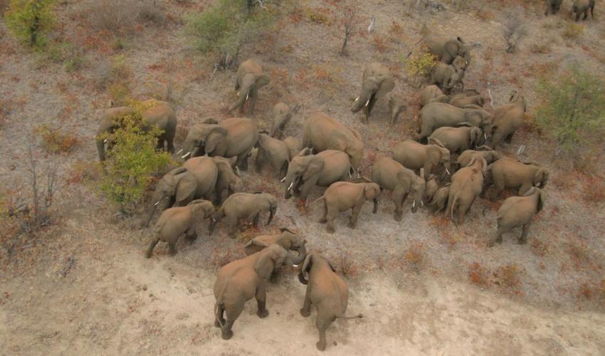 En algunas regiones de África, la cantidad de elefantes se ha reducido en casi 50% por la caza