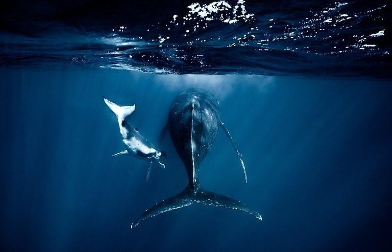 Una fotógrafa retrató el vínculo entre ballenas y sus crías recién nacidas