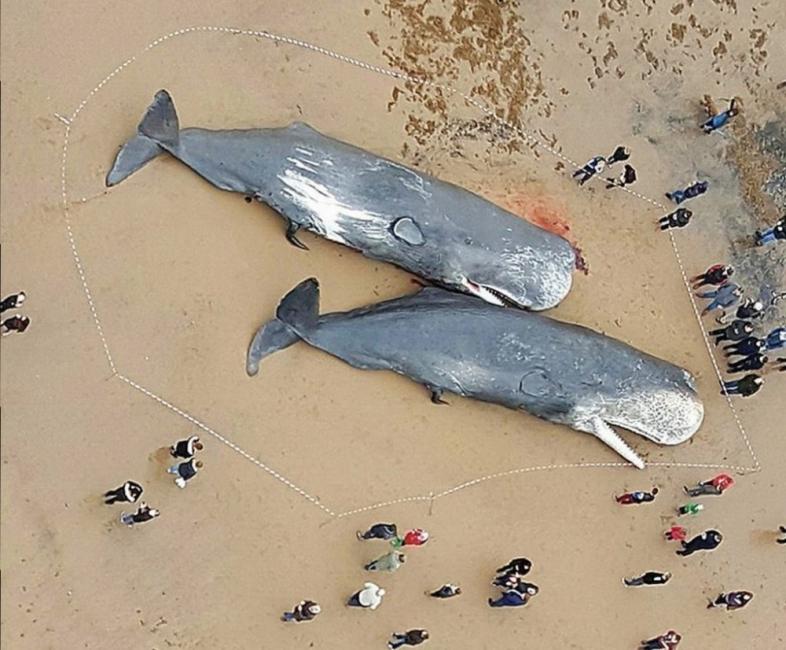cachalotes en Alemania -plástico en el mar