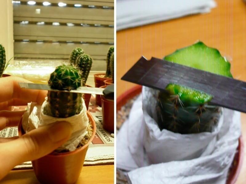 injerto de cactus -corte