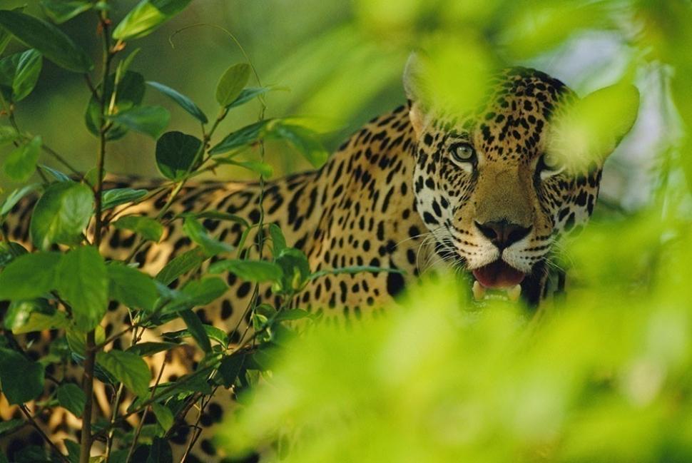 Día Internacional de la Vida Silvestre- yaguareté