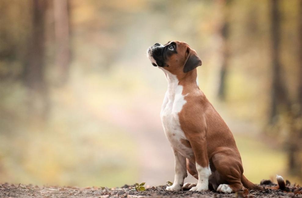 La domesticación del perro pudo haber ocurrido entre 20.000-40.000 años atrás