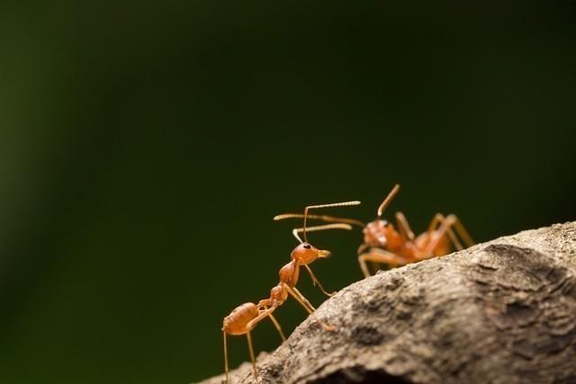 Las hormigas forman colonias