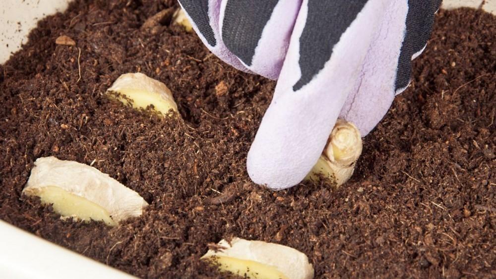Cultivar jengibre - jengibre en maceta