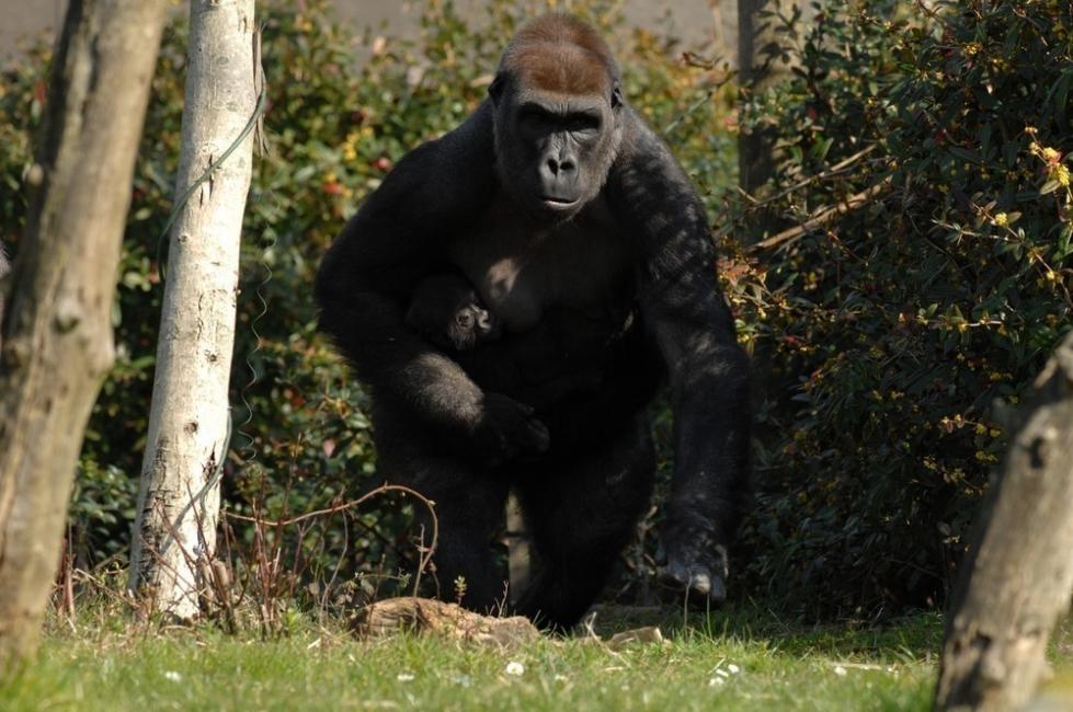 animales en peligro de extinción -gorila de montaña