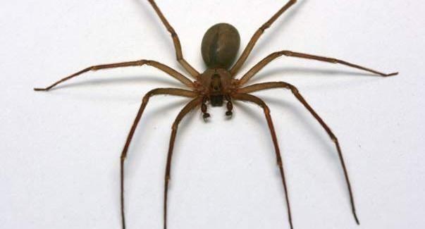 Descubrieron una nueva especie de araña violinista