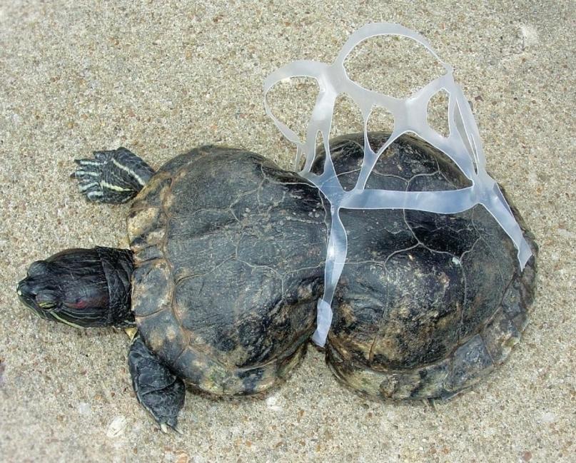 La revisión de la literatura arrojó 23 informes de enredos de tortugas marinas en desechos antropogénicos