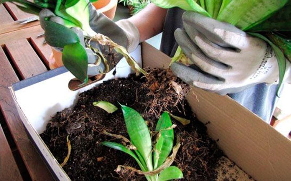 cómo dividir plantas