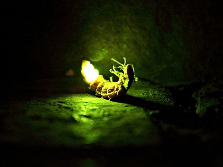 Consejos para atraer luciérnagas - primer plano