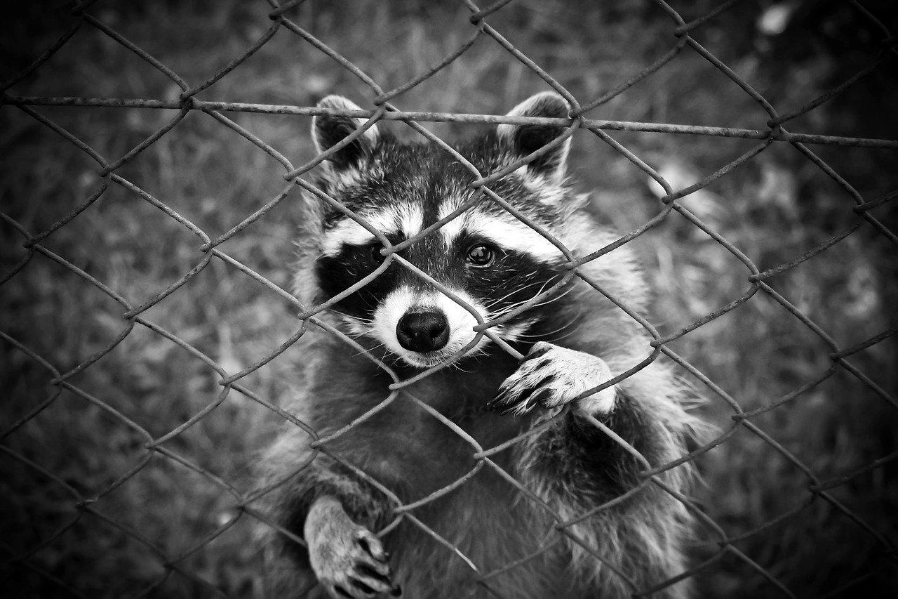 raccoon-1612593_1280