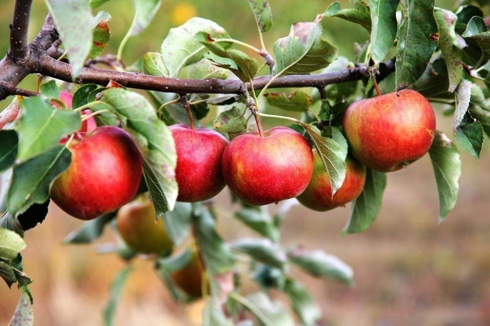 Cómo plantar manzano o arbol de manzanas