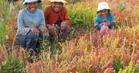 Cultivo de kaniwa