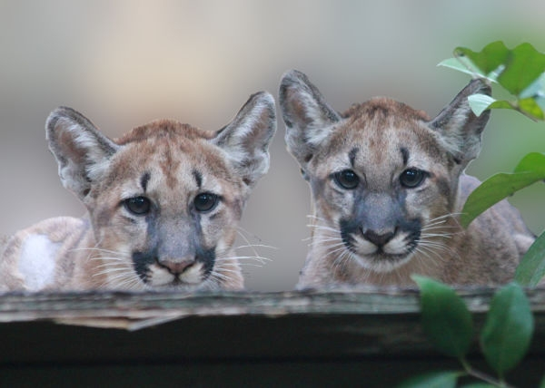 Florida_Panther_Kittens_at_White_Oak