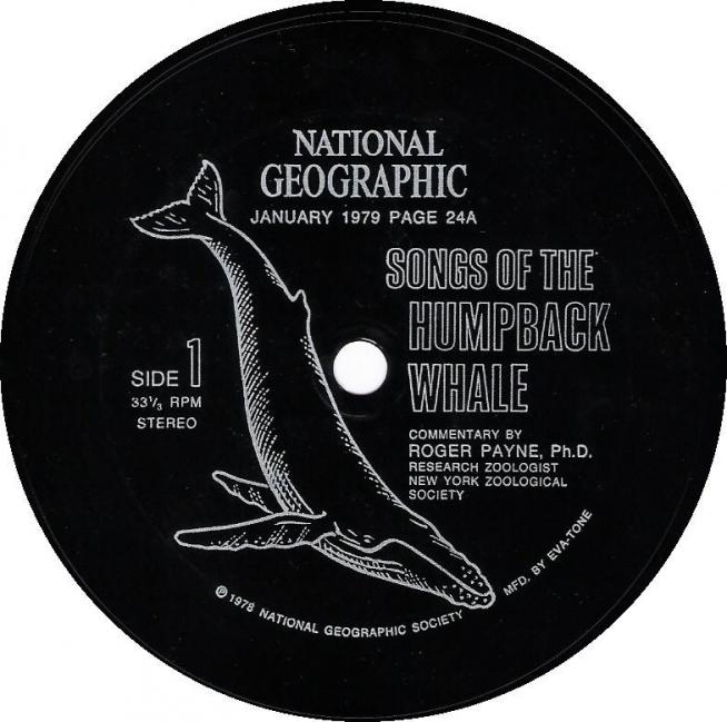 """En los 70' National Geographic lanzó el disco de vinilo """"Cantos de la ballena Jorobada"""", esto sensibilizó tanto a la gente que provocó el movimiento ambiental más grande de la historia para la protección de las ballenas."""