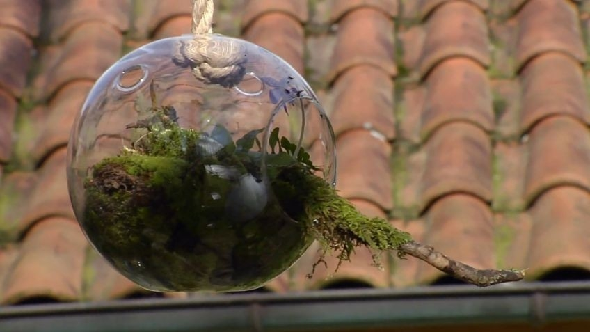Cómo cultivar plantas carnívoras en esferas de vidrio