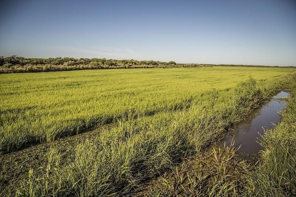 arroz orgánico  - cultivos