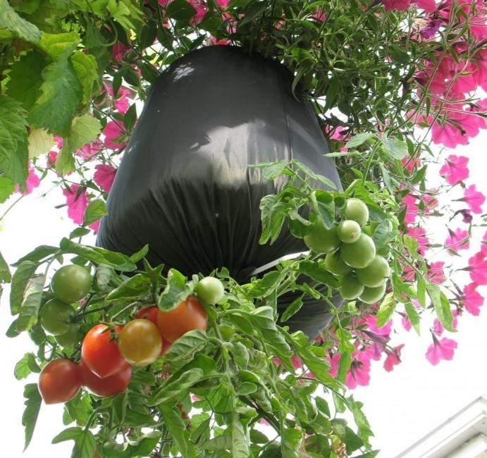 cultivo de tomates invertido y colgante