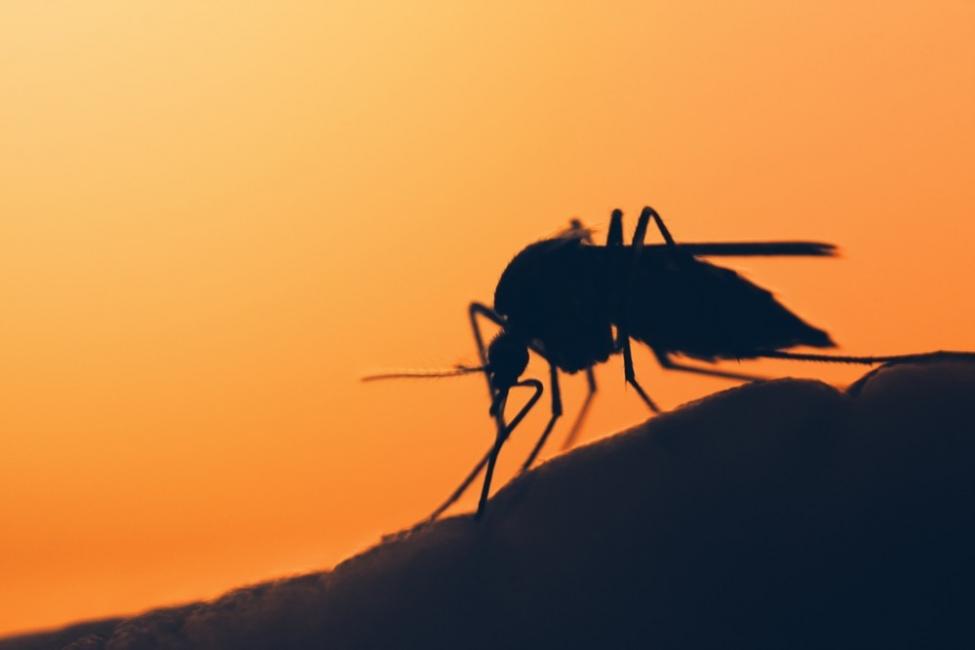 Los mosquitos tienen aprendizaje olfativo