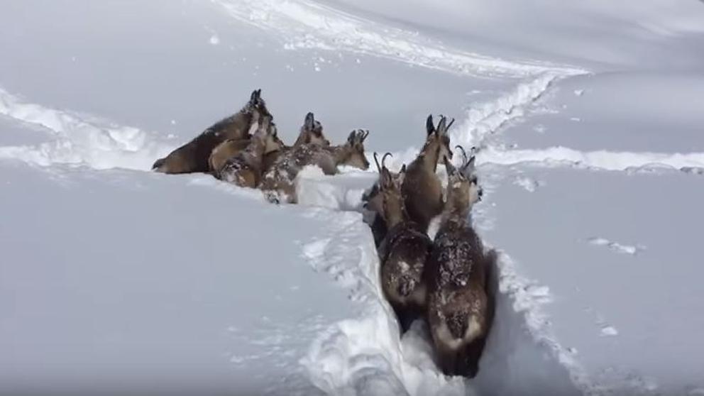Rebecos haciendose paso en la nieve